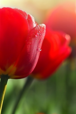 iPhone Wallpaper Red flowers, tulips, dew