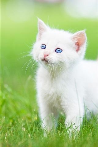 iPhone Wallpaper Blue eyes white kitten, grass