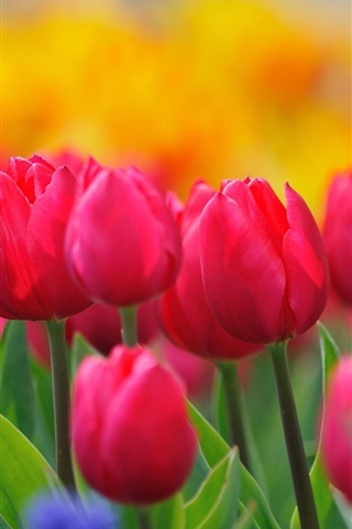 iPhone Wallpaper Red flowers, tulips, spring, blur background