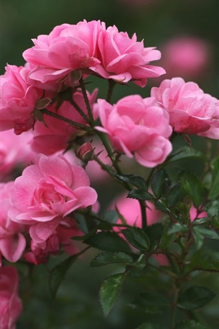 iPhone Обои Роза почки, лепестки, розовые цветы, размытость