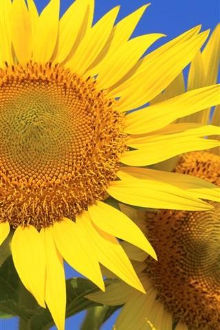 iPhone Wallpaper Sunflowers, petals, blue sky