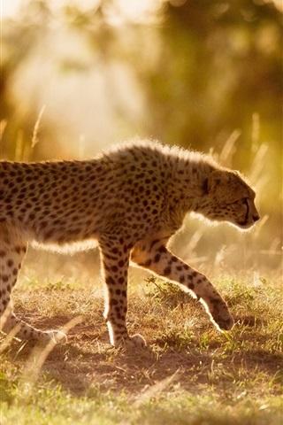 iPhone Wallpaper Africa, cheetah, big cat, sunshine