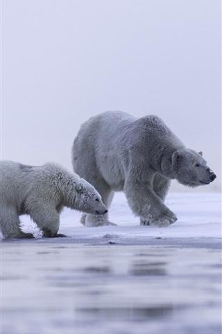 iPhone Wallpaper Alaska, Arctic, polar bear family, cold