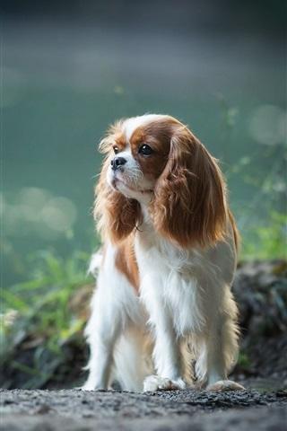 iPhone Wallpaper Cavalier king Charles Spaniel, dog
