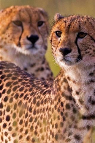iPhone Wallpaper Cheetahs, wild cat, Africa