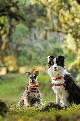 iPhone Wallpaper Dwarf Schnauzer, border collie, two dogs