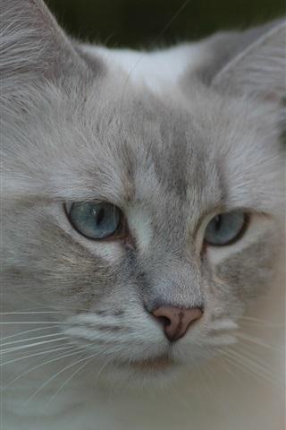 iPhone Wallpaper Gray cat, face, eyes, bokeh