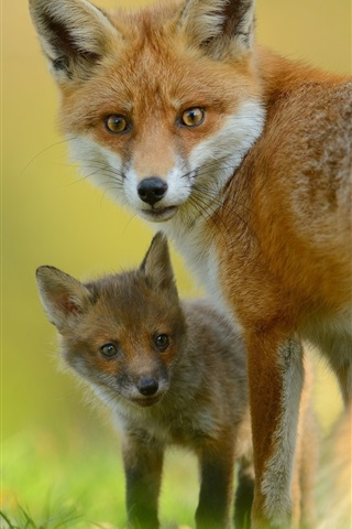iPhone Wallpaper Animals close-up, fox, cub, look back