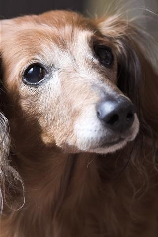 iPhone Wallpaper Cute dog, face, bokeh