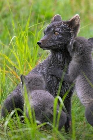 iPhone Wallpaper Finland, black arctic fox family, summer, grass