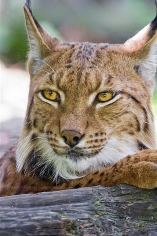 iPhone Wallpaper Lynx close-up, cat, timber