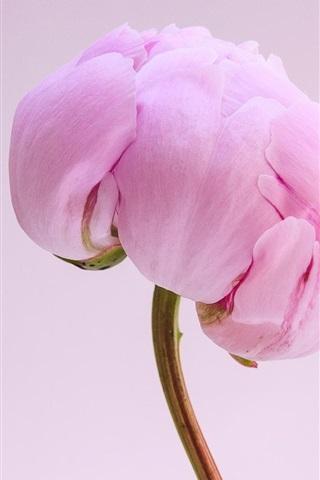 ピンクのシャクヤクの花クローズアップ 640x1136 Iphone 5 5s 5c Se
