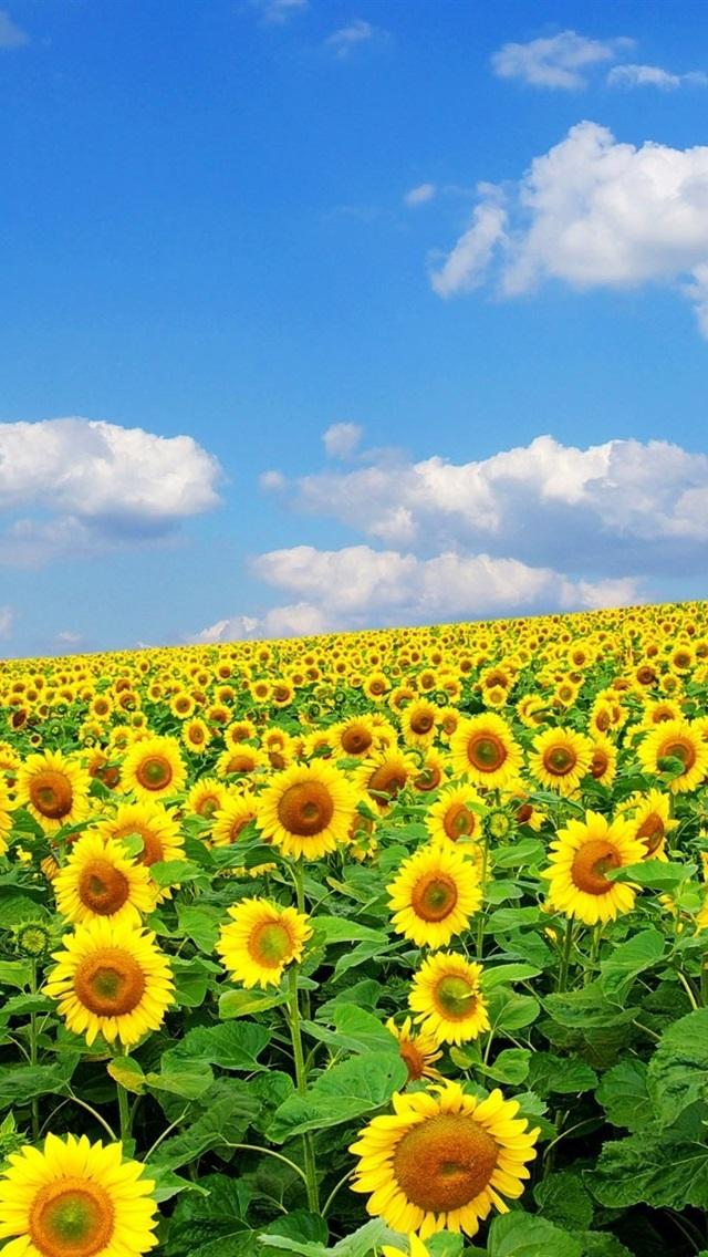 ひまわり 夏 空 雲 640x1136 Iphone 5 5s 5c Se 壁紙 背景 画像