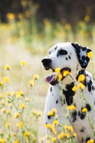 iPhone Wallpaper Dalmatians, dog, wildflowers