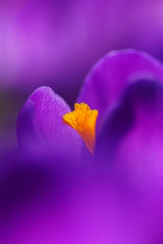 iPhone Wallpaper Flower macro photography, purple crocus, petals