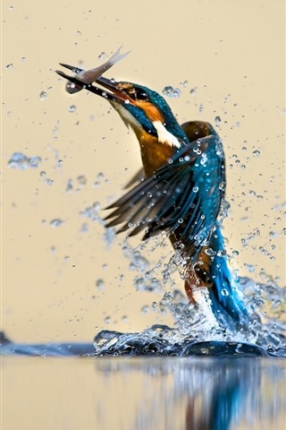 iPhone Wallpaper Kingfisher beautiful dance, water, splash, catch fish
