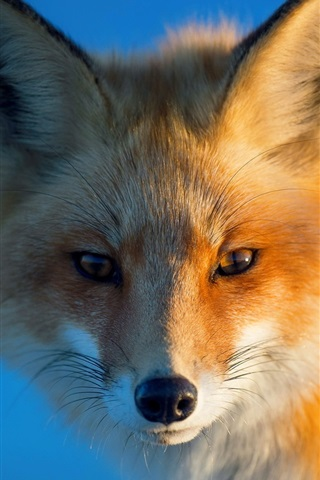 iPhone Wallpaper Red fox, portrait, eyes, blue background