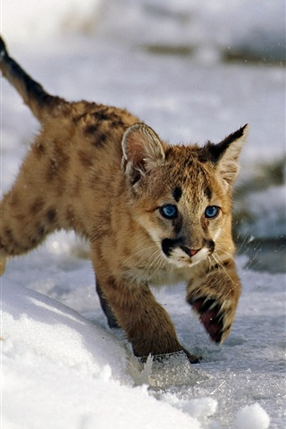 Uinta National Forest Utah Usa Mountain Lion Cubs Winter Snow
