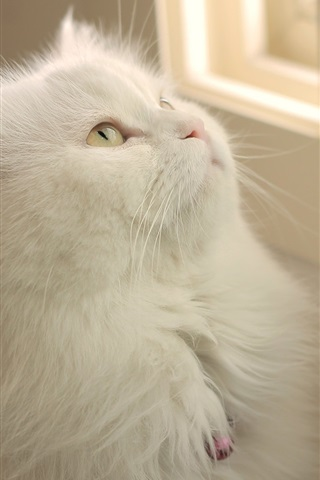 iPhone Wallpaper White cat look window