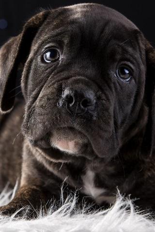 iPhone Wallpaper Cute puppy, black dog