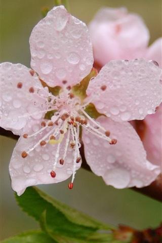 iPhone Wallpaper Pink flower blossom, petals, dew, spring
