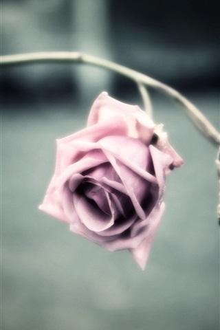 iPhone Wallpaper Pink flower, rose, petals, blur background