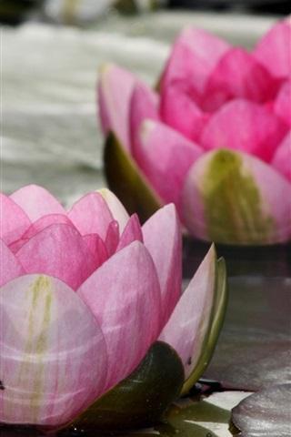 iPhone Wallpaper Pink flowers, lotus, water lily, lake