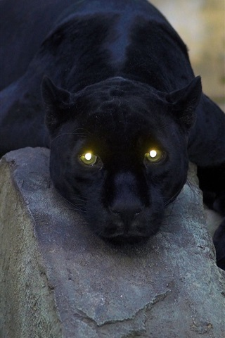 iPhone Wallpaper Animal close-up, black panther, yellow eyes, light