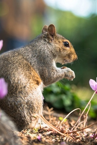 iPhone Wallpaper Animal close-up, squirrel in summer, flowers