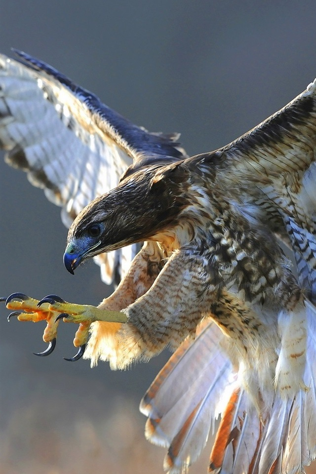 Wallpaper birds close up hawk flying wings 1920x1200 hd - Hawk iphone wallpaper ...