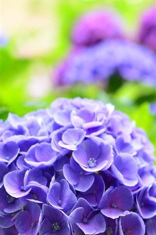 iPhone Wallpaper Blue hydrangea, spring