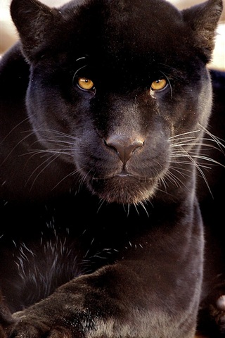 iPhone Wallpaper Carnivores, black panther
