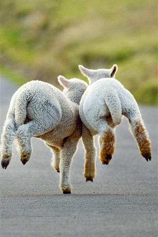 iPhone Wallpaper Christchurch, New Zealand, road, lambs running