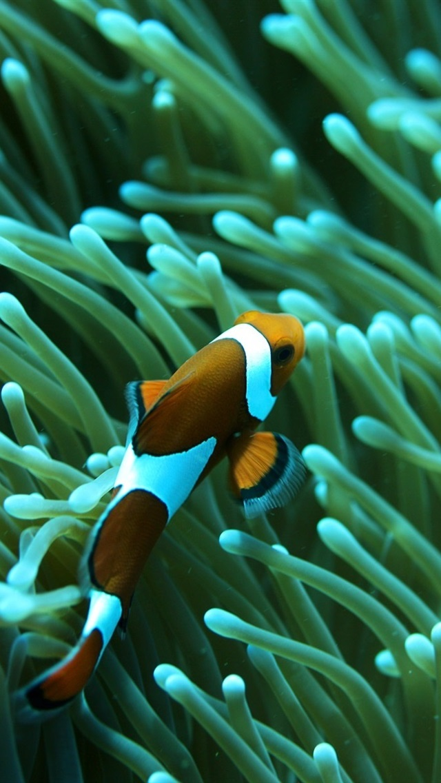 Wallpaper Clown Fish Coral Underwater 1920x1200 Hd Picture