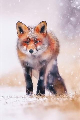 iPhone Wallpaper Cold winter, snow, fox