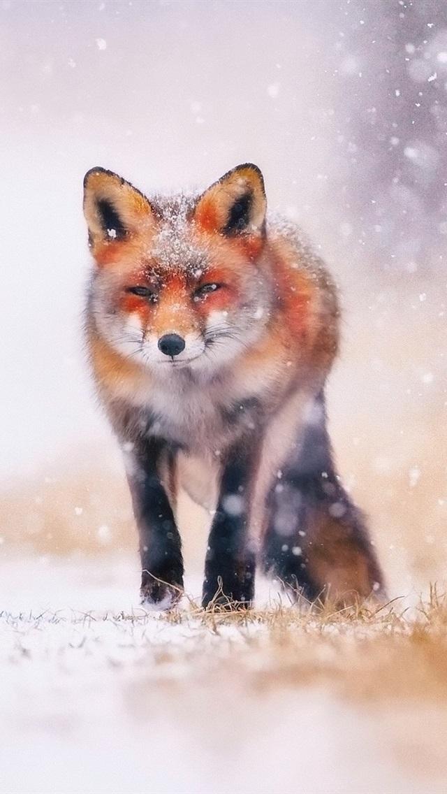 Cold Winter Snow Fox 640x1136 IPhone 5 5S 5C SE Wallpaper