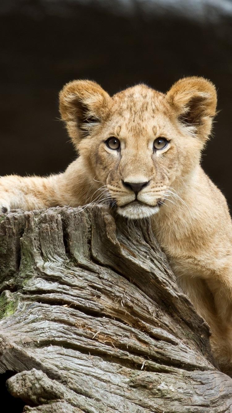 Fonds D Ecran Lion Mignon Souche 2560x1600 Hd Image