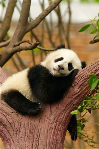 iPhone Wallpaper Cute panda bear sleep, rest, tree, zoo