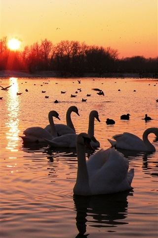 iPhone Wallpaper Lake, swans, birds, sunset, trees, red sky