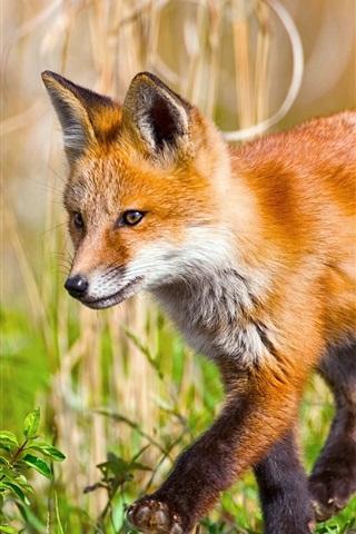 iPhone Wallpaper Little fox walks