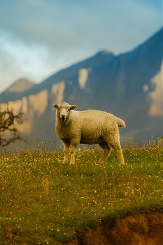 iPhone Wallpaper Lonely sheep, mountains, grass