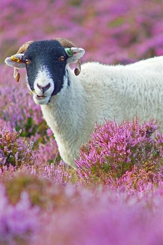 iPhone Wallpaper Purple flowers field, cute lamb