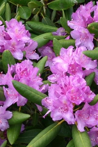 iPhone Papéis de Parede flores do rododendro, rosa, folhas