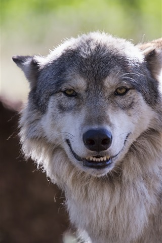 iPhone Wallpaper The wolf look like smile
