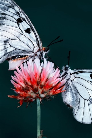 iPhone Wallpaper Two butterflies, insect, red flower