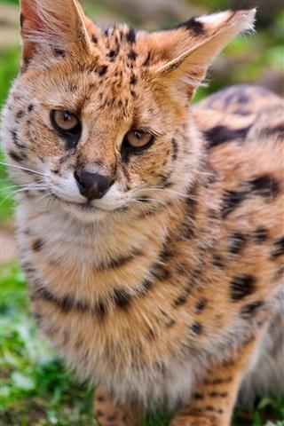 iPhone Wallpaper Wild cat, serval