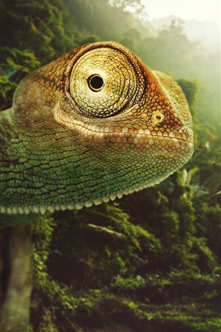 iPhone Wallpaper Chameleon close-up, nature, birds, sun rays, Desktopography pictures
