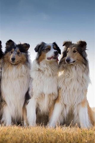 iPhone Wallpaper Collie, Australian shepherd, dogs