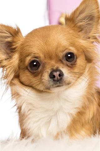 iPhone Wallpaper Cute pets, fox dog