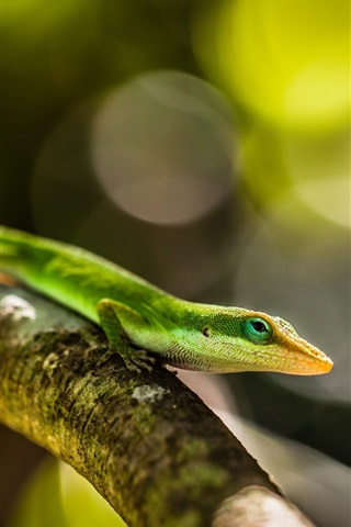 iPhone Wallpaper Green lizard, tree branch, bokeh